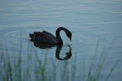 Svart Swan Royaltyfria Foton