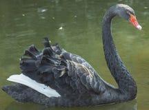 Svart swan royaltyfria bilder