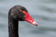 Svart swan Arkivbild