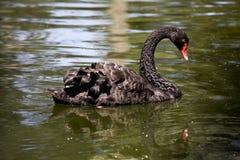 svart swan Arkivfoton