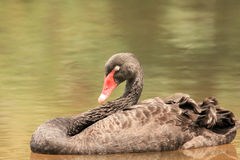 svart swan Royaltyfri Bild