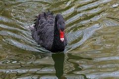 Svart swan arkivfoto