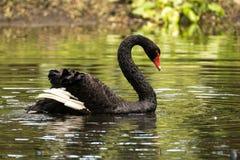 Svart swan arkivbilder