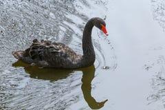 Svart swan Fotografering för Bildbyråer