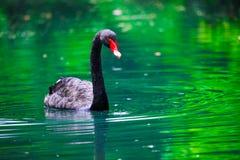 Svart swan med en röd näbb i damm arkivfoton