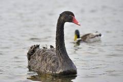 Svart swan och and Royaltyfri Bild
