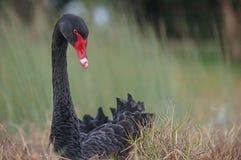 Svart Swan som bygga bo på grönt gräs bredvid swanfloden arkivfoton