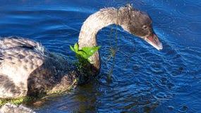 Svart swan ung ung svan Arkivbild