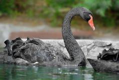 Svart swan Yalta zoo Arkivfoto
