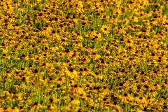 Svart-Syna-Susan blomma Royaltyfri Fotografi