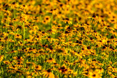 Svart-Syna-Susan blomma Arkivbilder