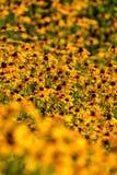 Svart-Syna-Susan blomma Arkivfoton