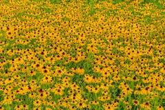 Svart-Syna-Susan blomma Arkivfoto