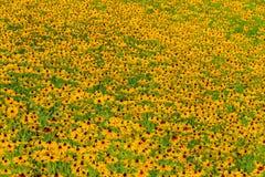 Svart-Syna-Susan blomma Royaltyfri Bild