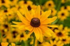 Svart-Syna-Susan blomma Royaltyfria Bilder