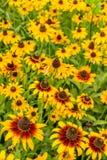Svart-Syna-Susan blomma Royaltyfria Foton