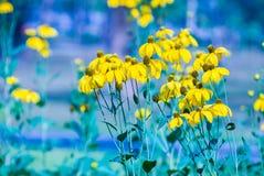 Svart-synad susan blomma Fotografering för Bildbyråer
