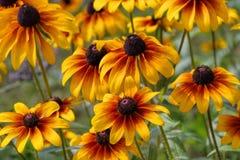 Svart-synad Susan blomma Arkivbild