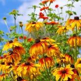 Svart-synad Susan blomma Arkivfoton