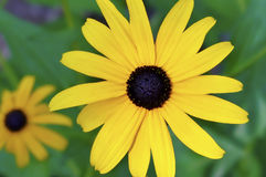 Svart-synad Susan blomma Arkivfoto