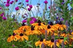 Svart-synad Susan blomma Royaltyfri Fotografi