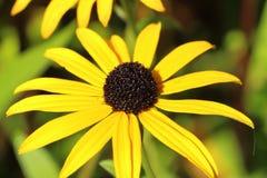 Svart-synad susan blomma i en trädgård Arkivbild