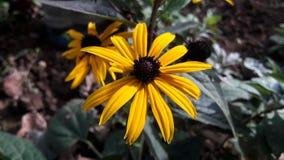 Svart synad Susan blomma, Rudbeckiahirta Royaltyfri Bild