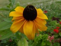 Svart-synad Susan blomma (Rudbeckiahirtaen) Arkivbild