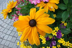 Svart-synad Susan blomma (Rudbeckiahirtaen) Royaltyfria Bilder