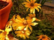 Svart-synad susan blomma som blommar i Gheorgheni Arkivbild