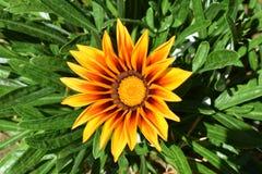 Svart synad Susan blomma som liknar en solros Royaltyfri Fotografi