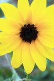 Svart synad Susan Daisy blomma Arkivfoton