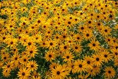 Svart-synade Susan - blomma Royaltyfria Bilder