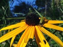 Svart-synade Susan Crawling Insect Royaltyfri Bild