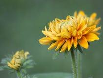 Svart-synade Susan Flowers Blooming Royaltyfria Bilder