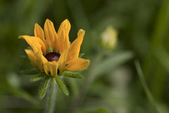 Svart-synat susan blomma Royaltyfria Foton