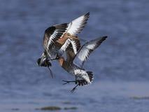 Svart-tailed godwitLimosalimosa Arkivfoton