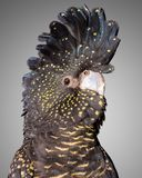svart tailed kakaduared Arkivbilder
