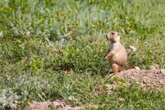 svart tailed marmotprärie Royaltyfri Fotografi