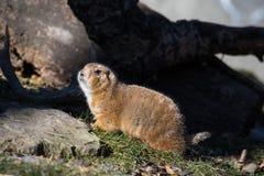 svart tailed marmotprärie Arkivbilder