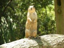 svart tailed marmotprärie Royaltyfria Foton