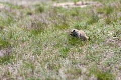 Svart-tailed Prarie hundkapplöpning Royaltyfri Foto