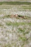 Svart-tailed Prarie hundkapplöpning arkivbilder