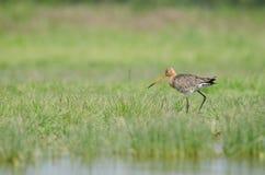 Svart-tailed för godwit (limosalimosa) upp Royaltyfria Bilder
