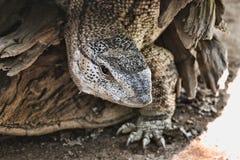 Svart Throated bildskärm, Varanus a albigularis Zimbabwe Royaltyfri Foto