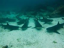 Svart tippade revhajar, Galapagos öar, Ecuador Arkivbilder