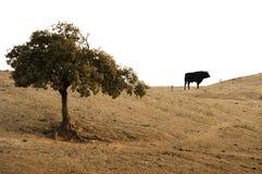 Svart tjur på en lantgård Royaltyfri Foto