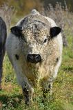 svart tjurwhite Fotografering för Bildbyråer