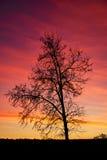 Svart trädkontur i tillbaka solnedgånglilor och rött ljus Fotografering för Bildbyråer