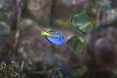 Svart triggerfish Arkivbild